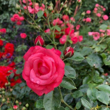 Die Rose – wunderschön und wohltuend